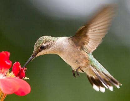 Colibri (D. Murphy)