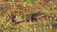 Ibis falcinelles vus à Laval en face de St-Eustache; nous en avons vu un en vol à trois reprises. C'est digne de mention car c'est très rare au Québec. (Loïc Sauvé)