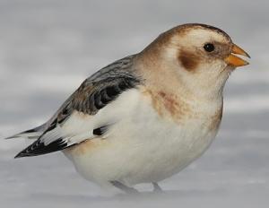 plectrophane_des_neiges(Wikipedia)