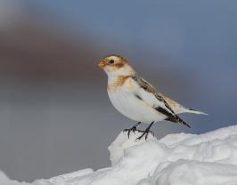 Bruant des neiges (D.Murphy)