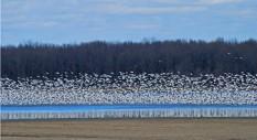Oies des neiges, Baie du Febvre (B.Goyette)