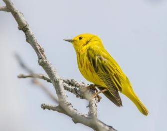 Paruline jaune, 2016 (D.Murphy)