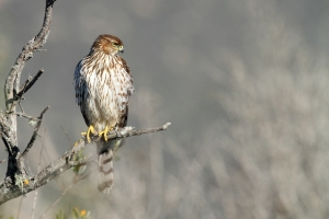 juvenile_coopers_hawk_accipiter_cooperii_in_tree